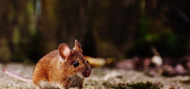 שיטות להדברת עכברים